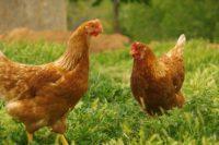 Des poules rousses sont distribuées à Colmar